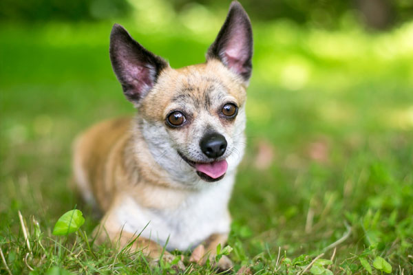 A cute Chihuahua mix dog lying in the grass