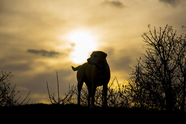 sunset and labradors