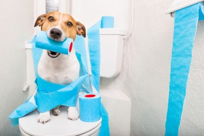 Jack russell terrier sitting on a toilet seat with digestion problems or constipation looking very sad and toilet paper rolls everywhere