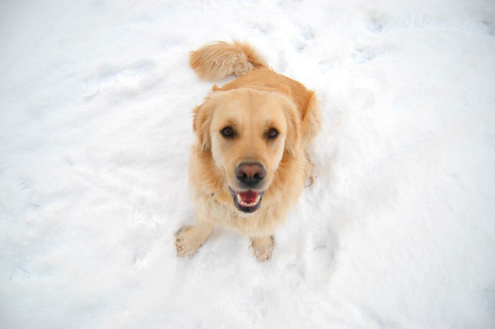 Golden Retriever sitting looking up at camera in snow