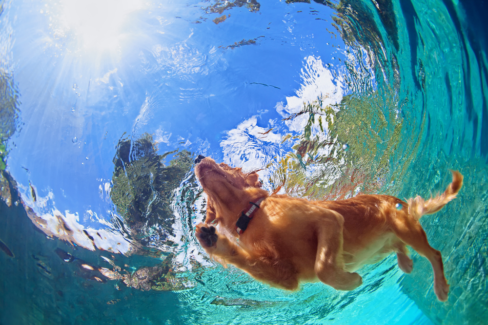 Underwater photo of golden labrador retriever puppy in outdoor swimming pool play with fun - jumping and diving deep down.
