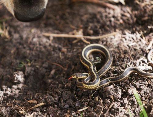 Encounters in the Wild: Snake Safety for Pet Owners